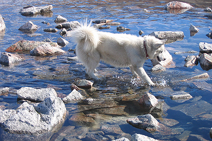 Greenland sleddog crossing the river , image by Gary Rolfe