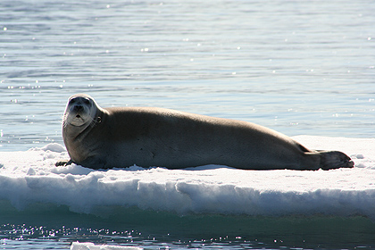 Bearded seal , image by Nanu Travel