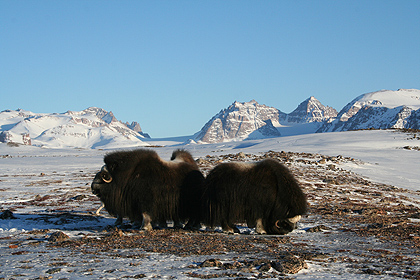 Musk oxen , image by Nanu Travel