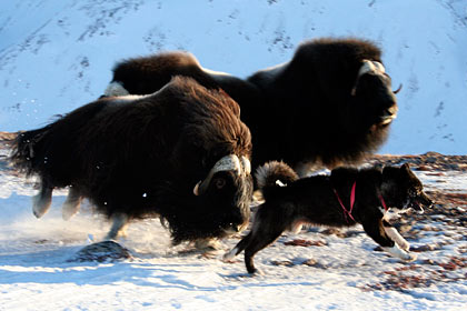 Musk ox hunt , Dom Brava , image by Nanu Travel