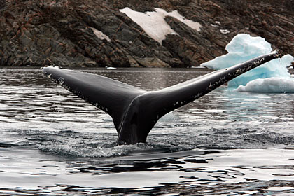 Humpbackwhale outside Ittoqqortoormiit , image by Nanu Travel