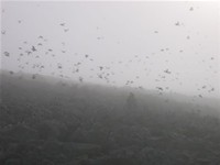 Thousands of Little Auks in the fog